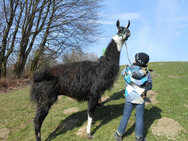 Lamas hautnah - Prachtlamas