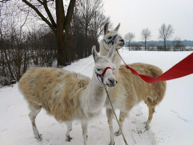 Lama-Park-Wanderung an Neujahr, Prachtlamas