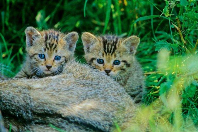 Junge Wildkatzen, BUND