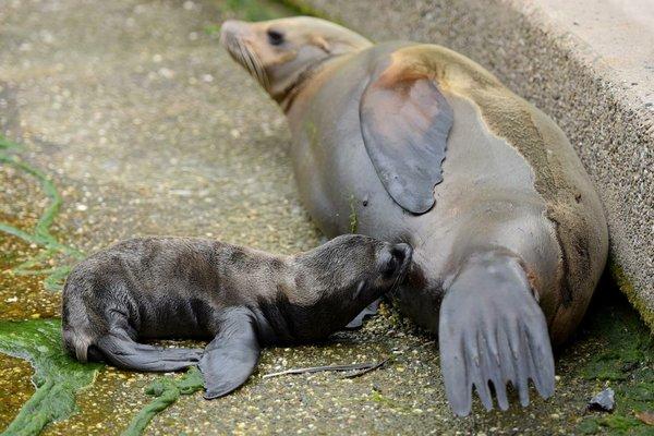 Seelöwenbaby im Zoo Krefeld