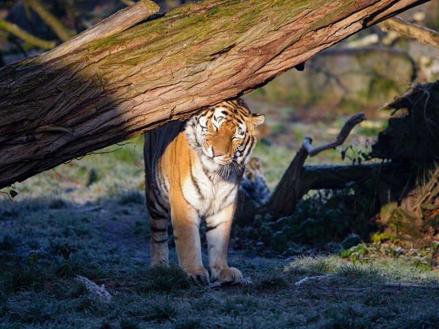 Führung für Frühaufsteher - Tiger in Sonne