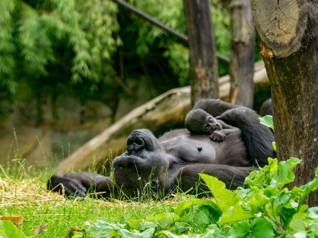 Ruhr.Top.Card, Gorilla im Zoo Duisburg